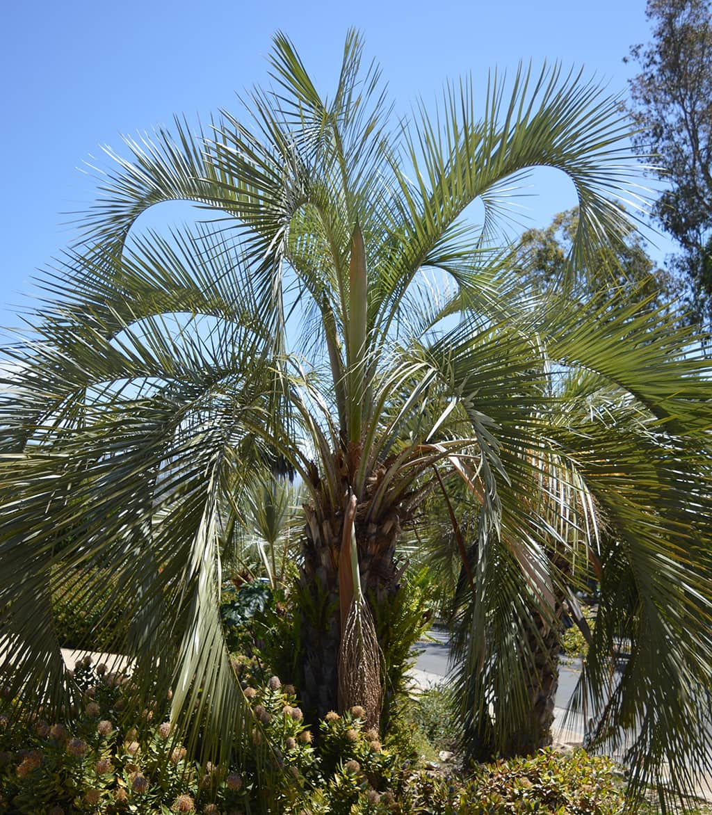 Jelly Palm by David Gress - Tree of the Month Sept 2020