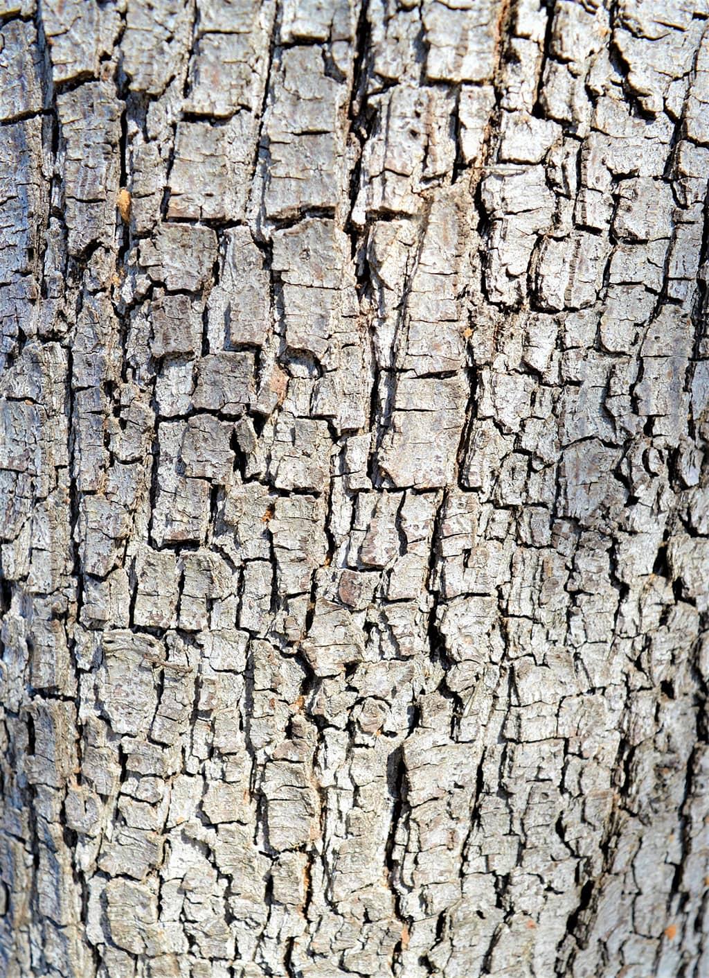 Holly Oak Bark by David Gress