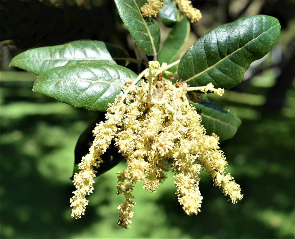 Holly Oak Flowers by David Gress