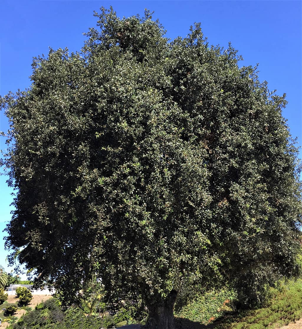 Holly Oak by David Gress - Tree of the Month