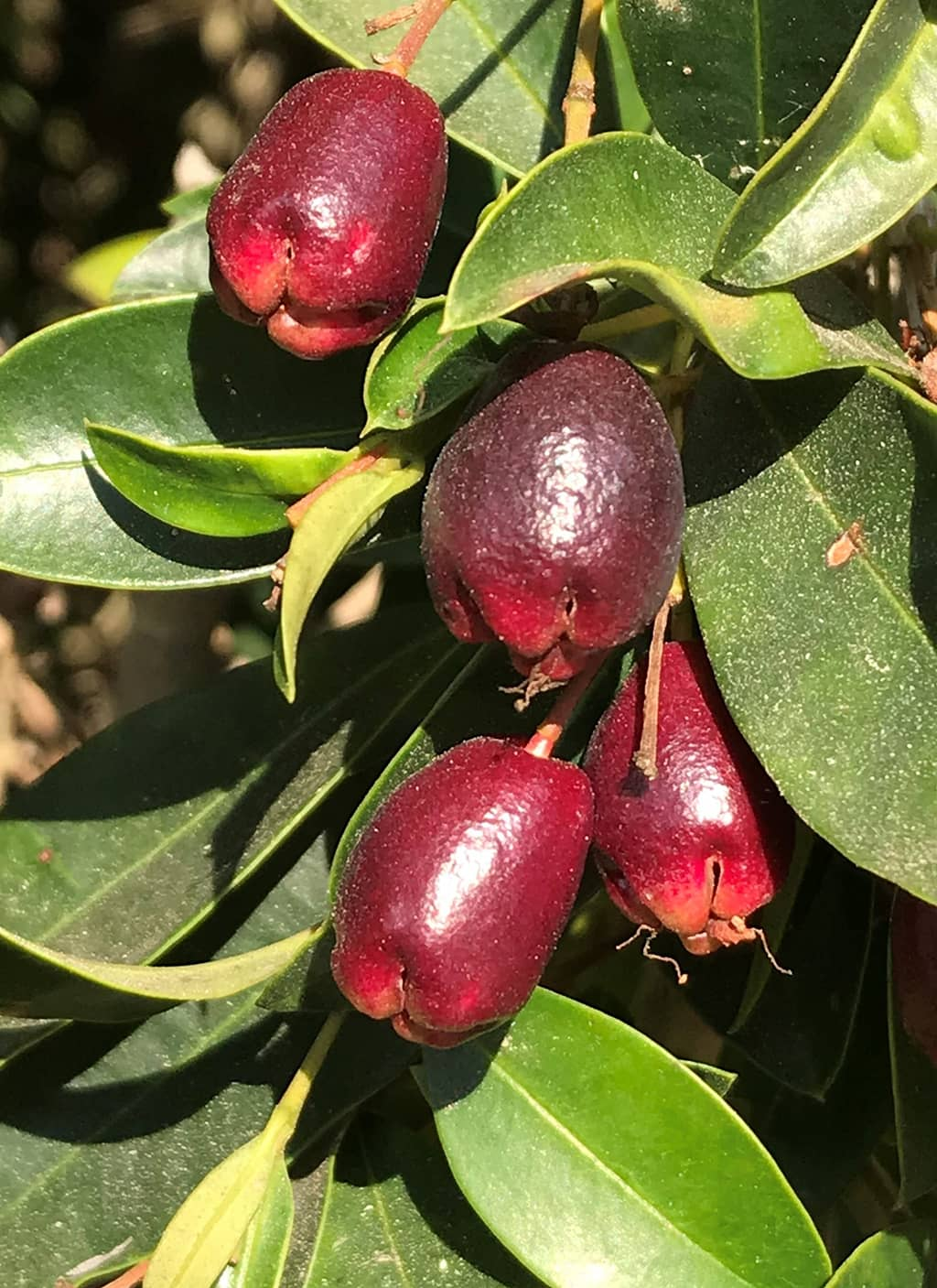 Eugenia Fruit by David Gress