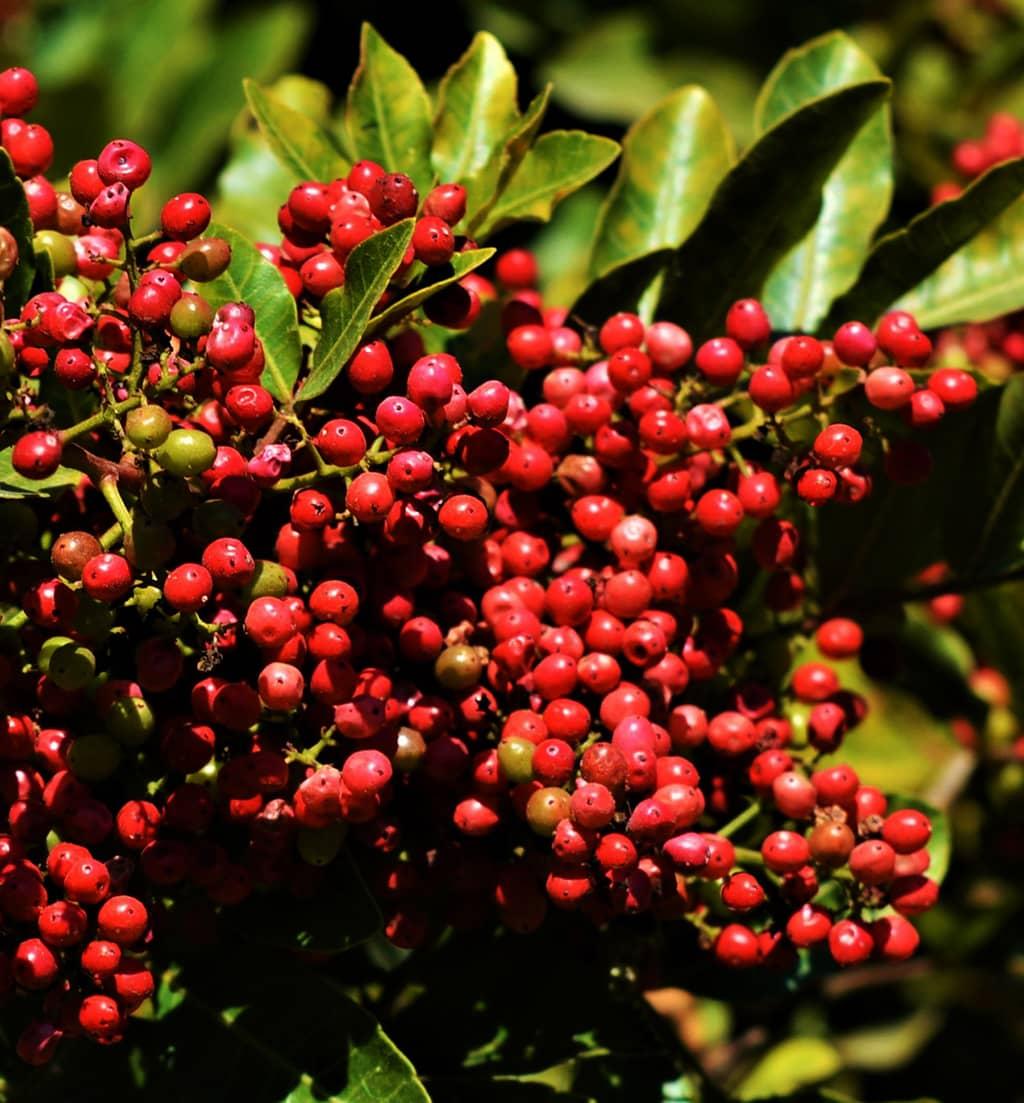 Brazilian Pepper Tree Fruit - photo by David Gress