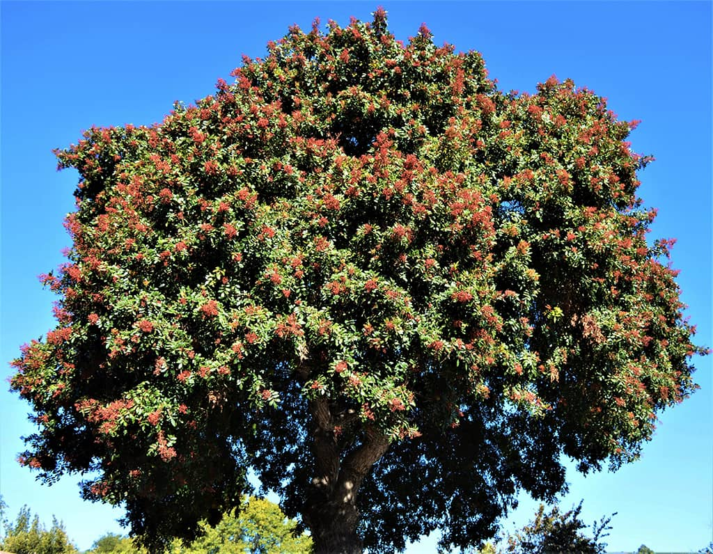 Brazilian Pepper Tree - photo by David Gress