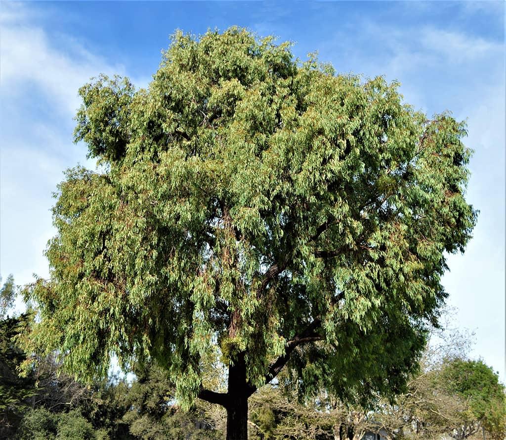 Red Ironbark - Eucalyptus sideroxylon — photo by David Gress