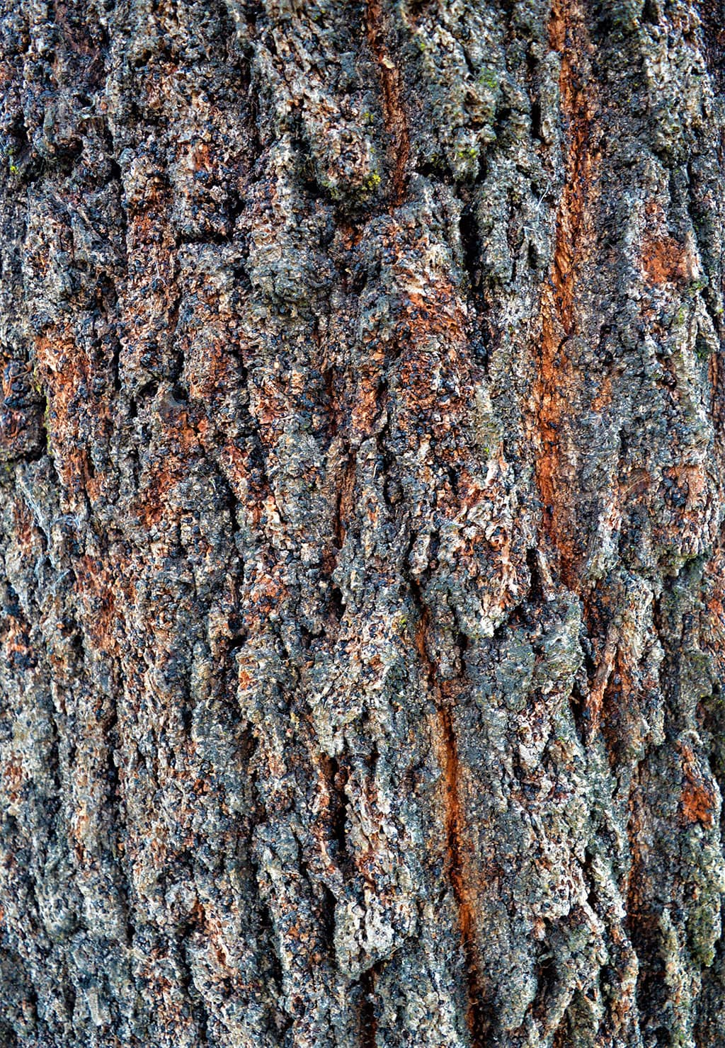 Red Ironwood - Eucalyptus Bark photo by David Gress