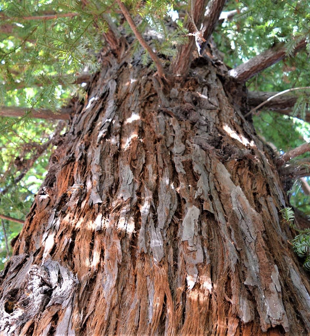 Coast Redwood Bark — photo by David Gress