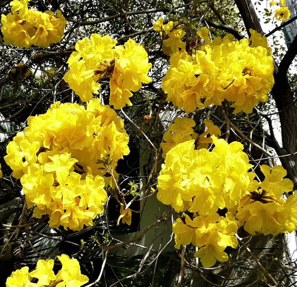 Golden Trumpet Tree Flowers - Photo by David Gress
