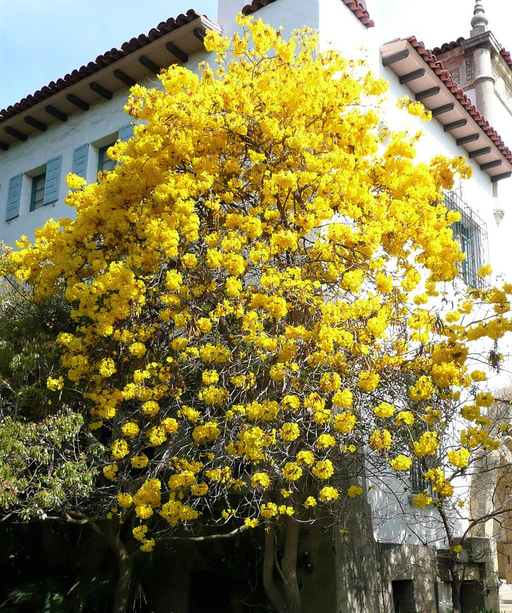 Golden Trumpet Tree - Photo David Gress