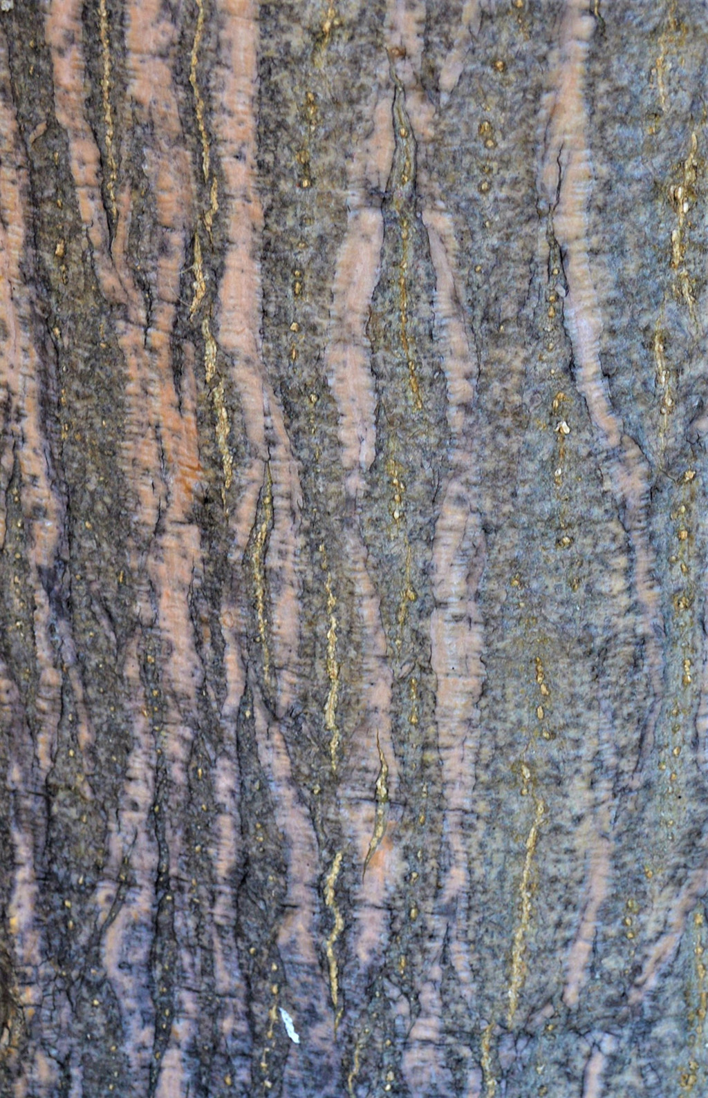 Erythrina caffra tree- tree of the month santa barbara beautiful david gress photo
