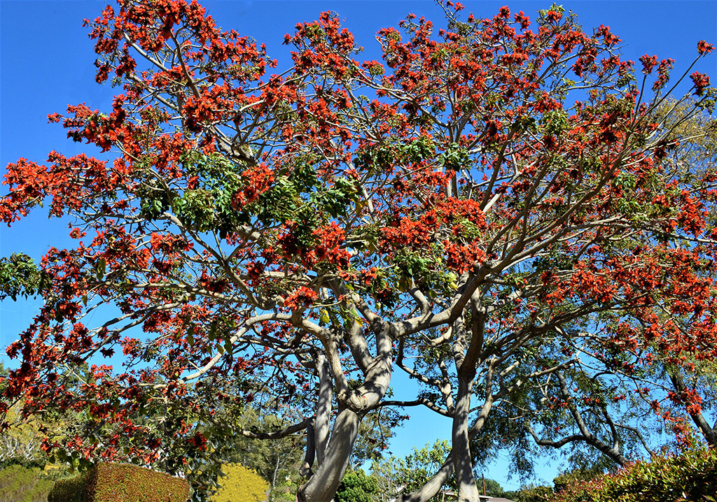 Erythrina caffra tree santa barbara beautiful photo david gress