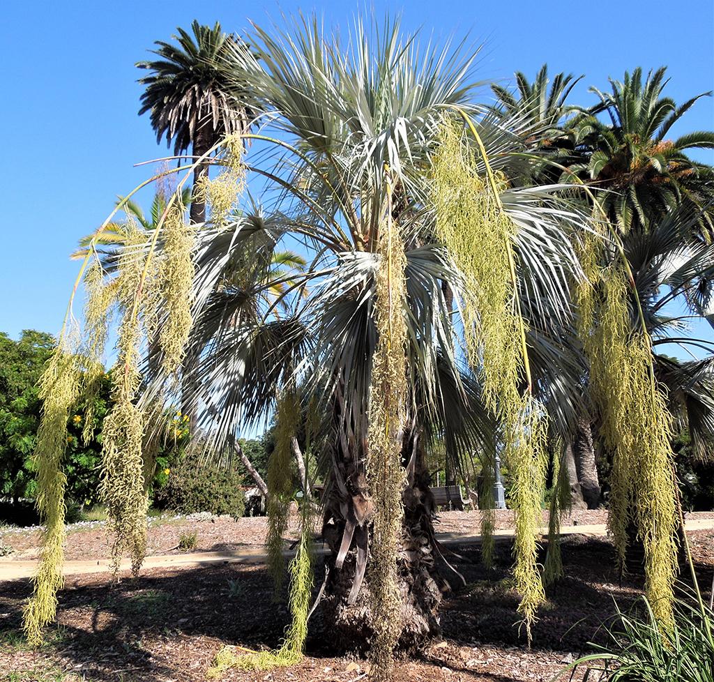 Blue Hesper Palm — Photo David Gress