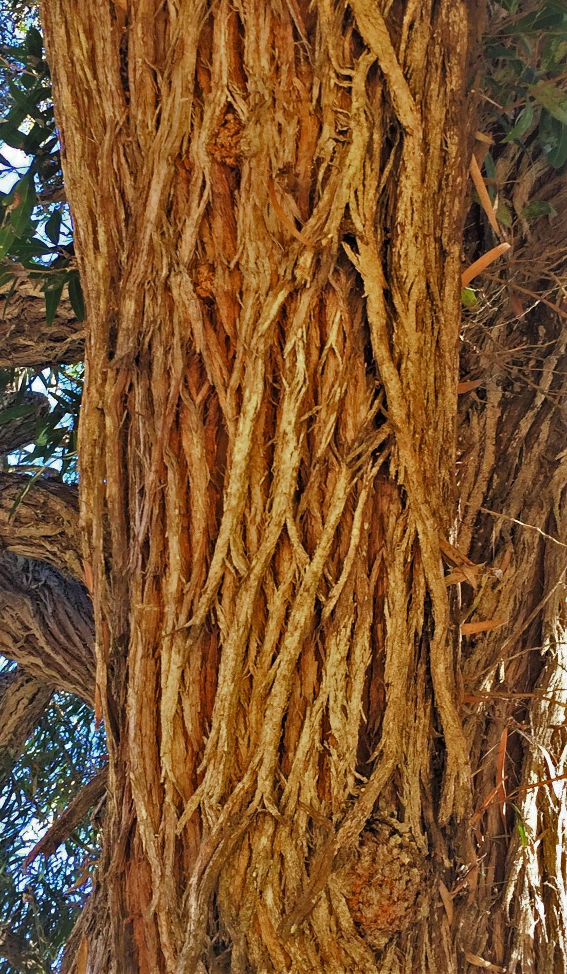 Peppermint Tree Bark — photo David Gress