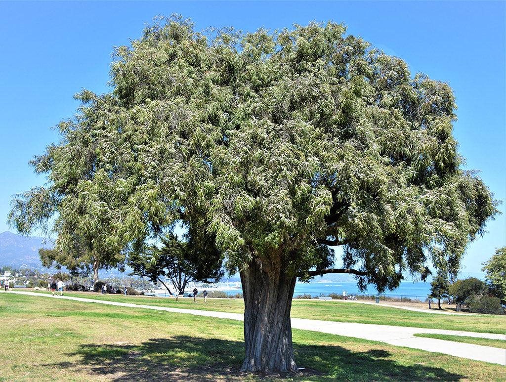 Peppermint Tree photo David Gress