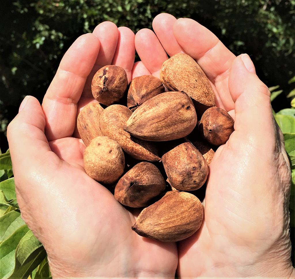 Bunya Bunya Tree - Nuts - photo David Gress