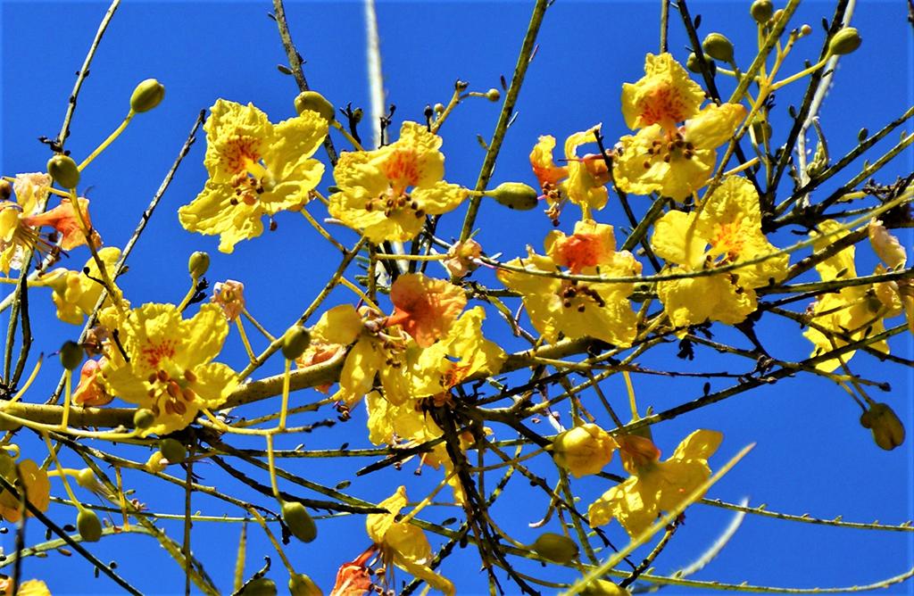 Mexican Palo Verde - Flowers - photo David Gress