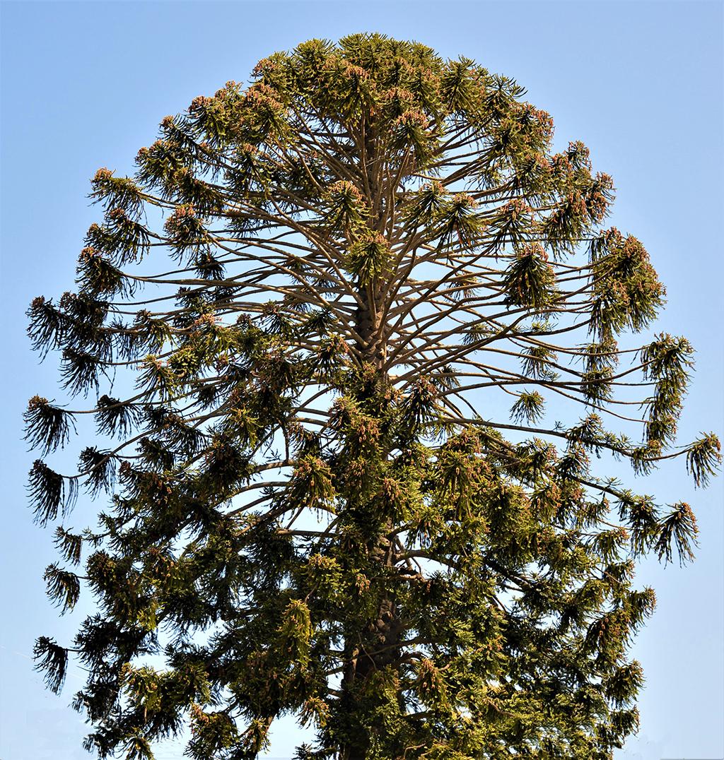 Bunya Bunya Tree - Santa Barbara Beautiful - David Gress photo